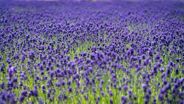 Lavender field at Farm Tomita
