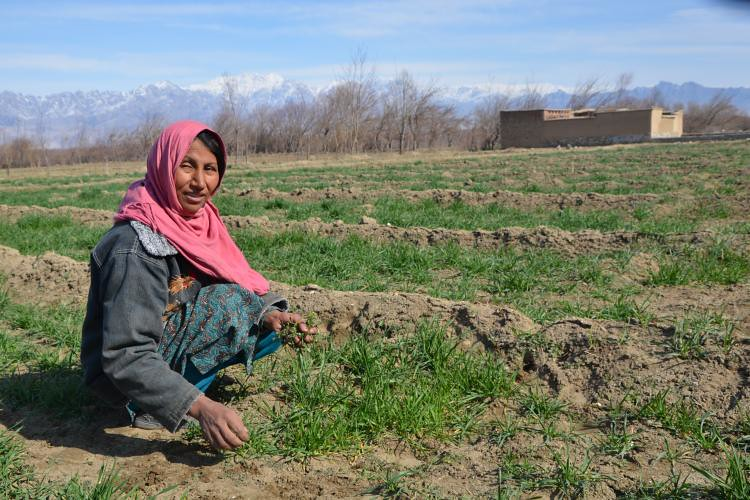 Nafasgul, a proud member of the woman-led VBSE 'Hurra Jalali Agriculture Service and Seed Production Company'.