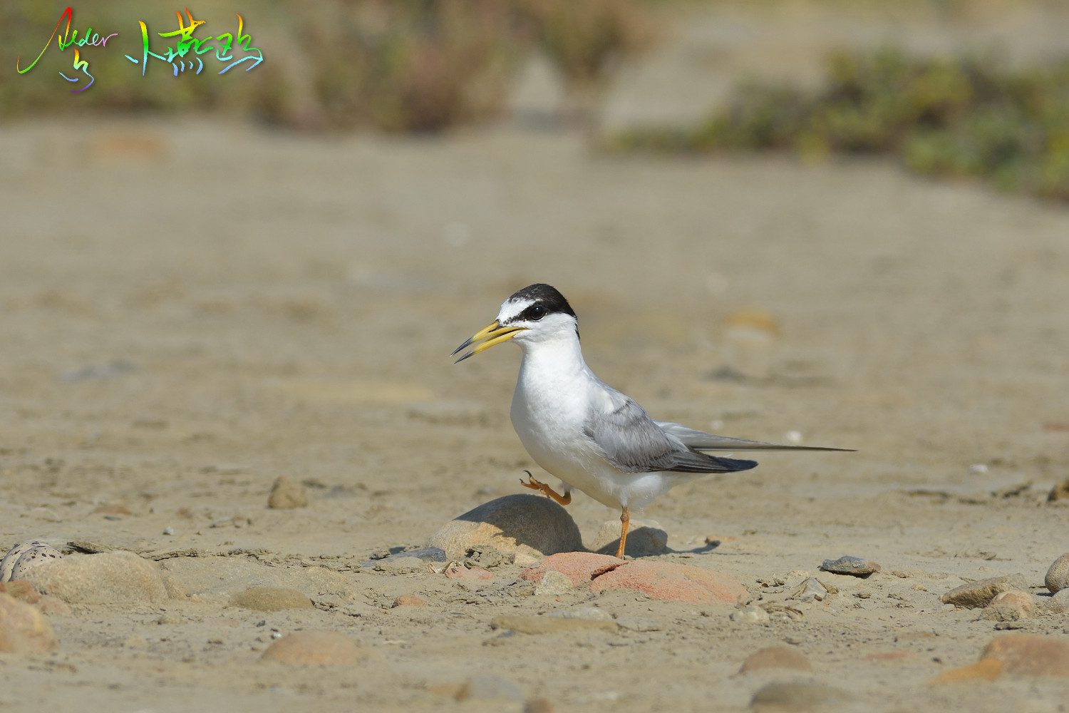 Little_Tern_2491