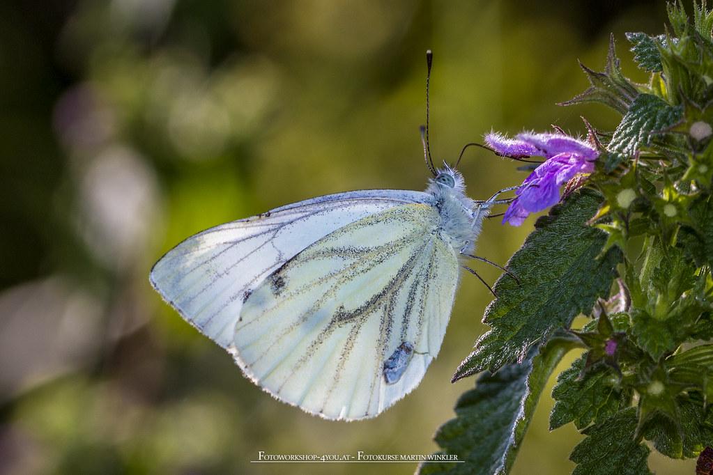 Butterfly in the morningsun