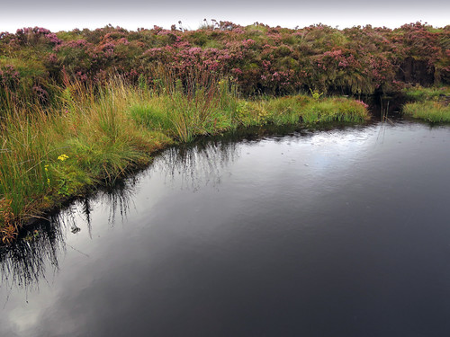 Bog heather surrounds a pond in the Antrim Glens, Ireland, UK