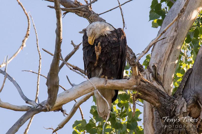 A Bald Eagle scratches itself while perched in a tree.  (© Tony's Takes)