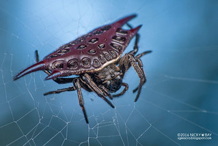 Spiny orb weaver (Gasteracantha sp.) - DSC_7676b