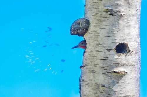 Nesting Northern Flicker
