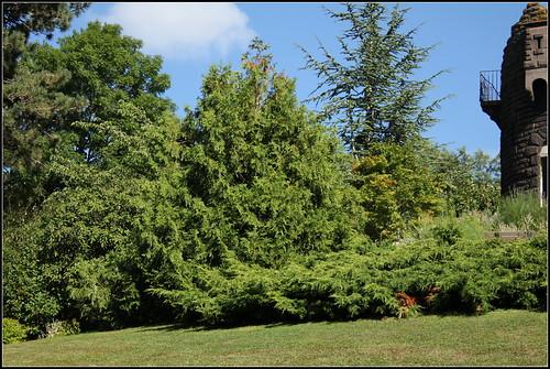 Thuyopsis et juniperus