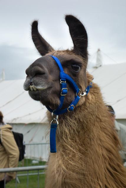 Berkshire Show Llama