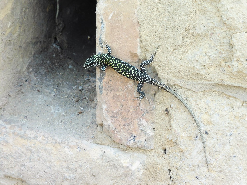 Street Lizard