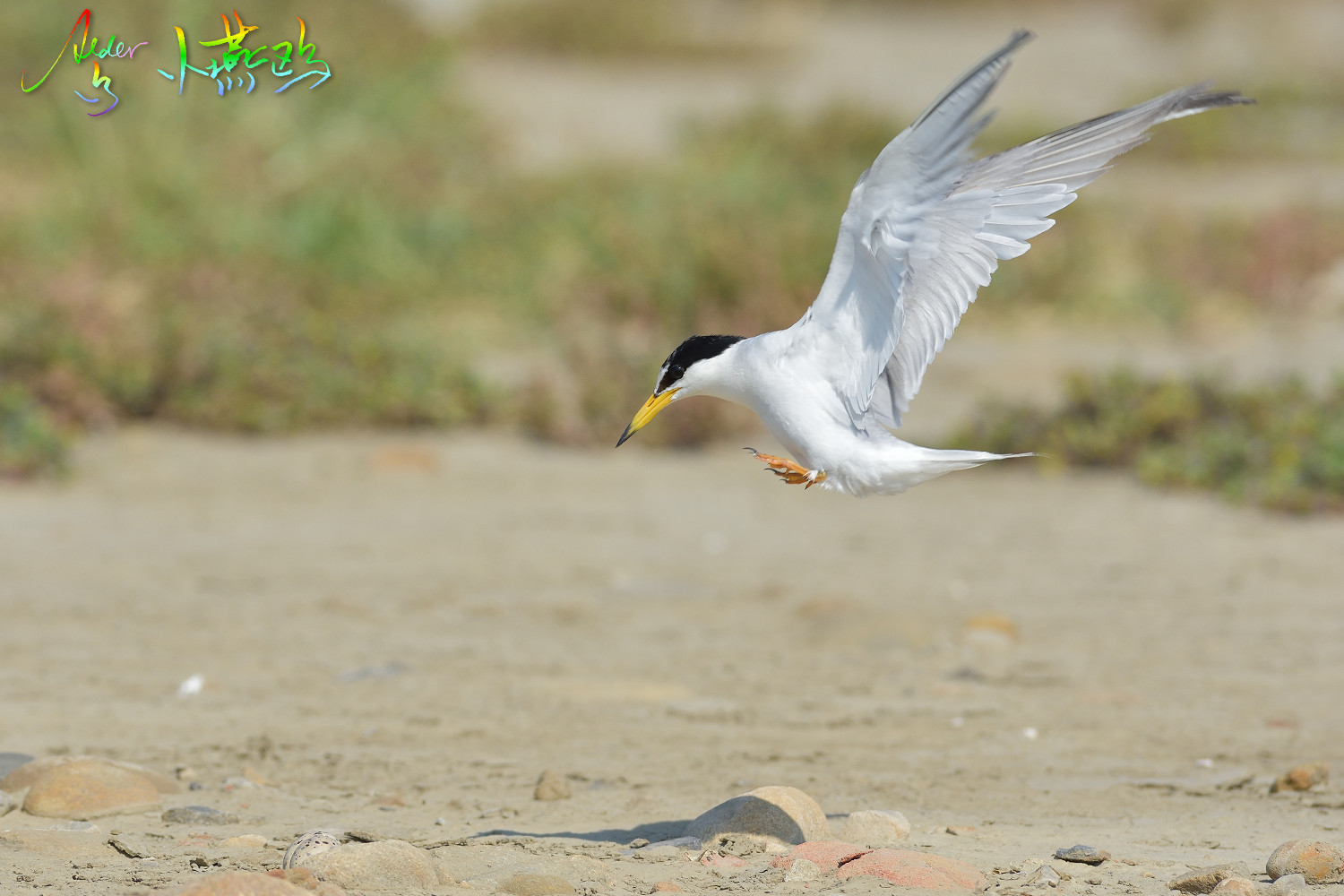 Little_Tern_2551