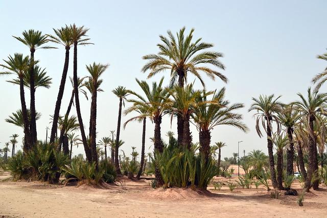 Marocco - Palmeto di Marrakech