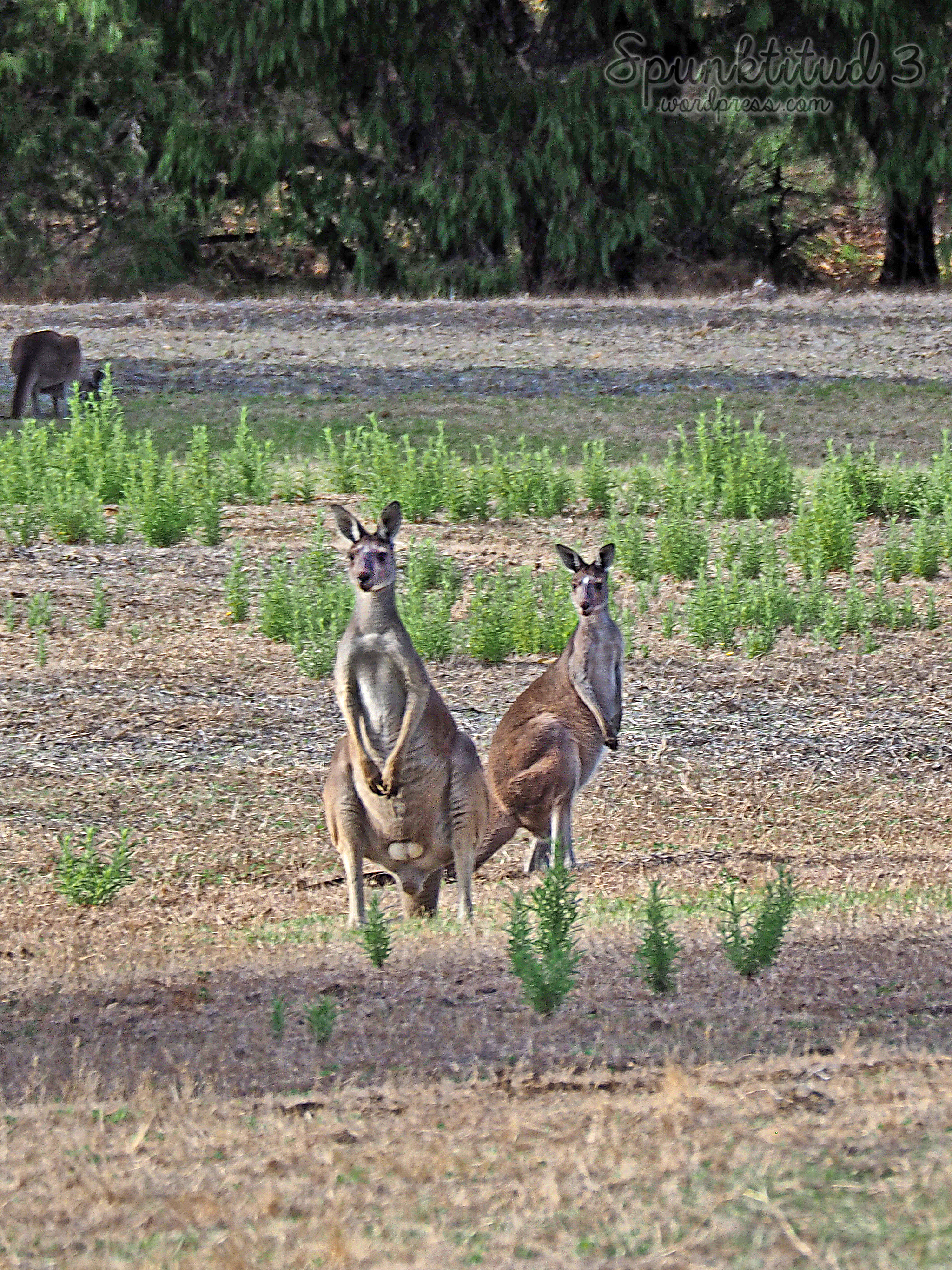 Wild Kangaroos in Perth