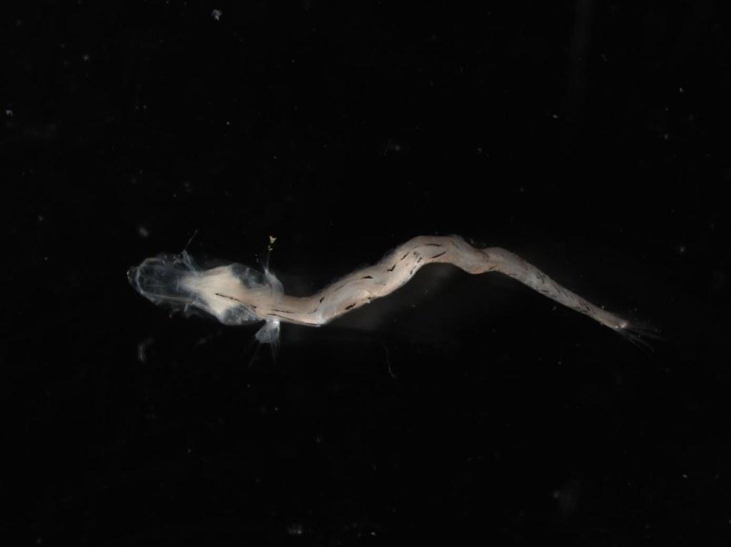ventral view of larval Reinhardt's lantern fish