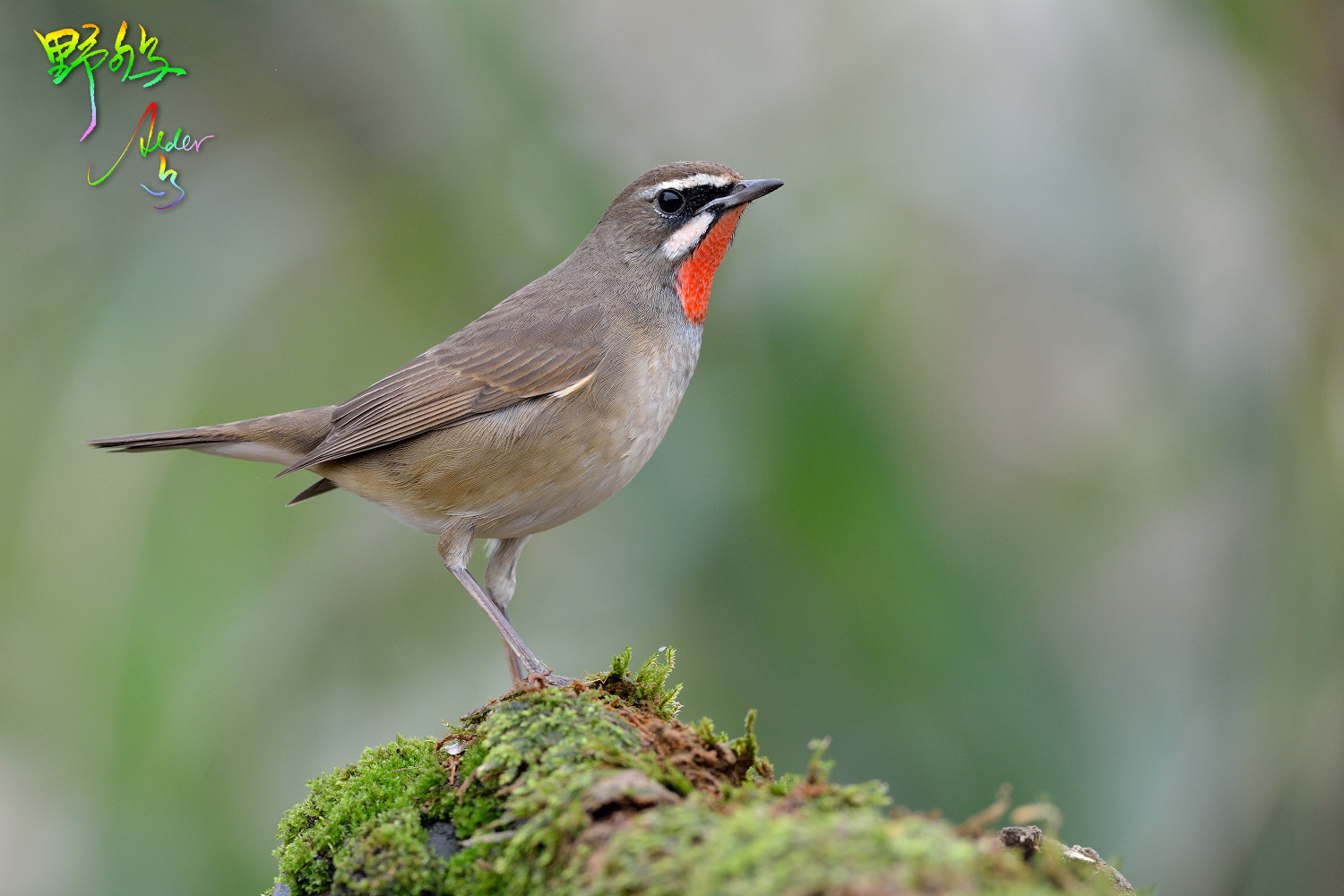 Rubythroat_1038
