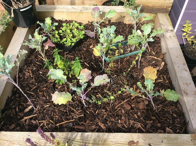 Purple sprouting broccoli bed