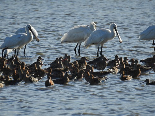 Spoonbills at Burton Mere Wetlands in Cheshire, England - July 2016