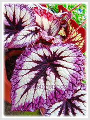 Please help ID this gorgeous Begonia, shot 26 Oct 2013