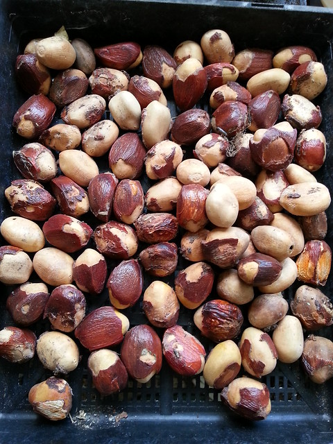 seed of Macrozamia riedlei