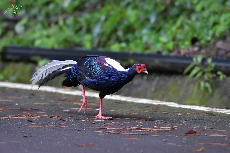 Swinhoe_Pheasant_7212