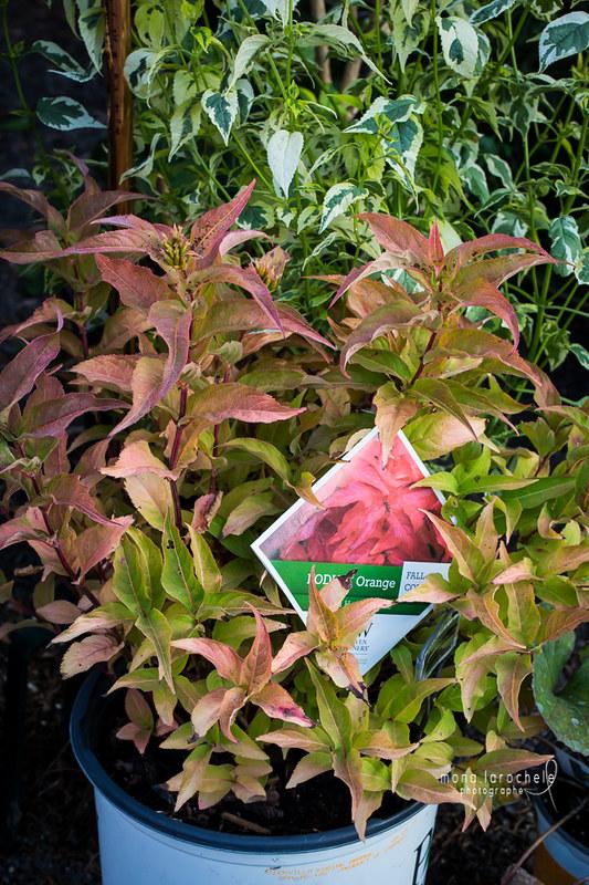 Diervilla Kodiak Orange 28805762502_3fcc749e8d_c