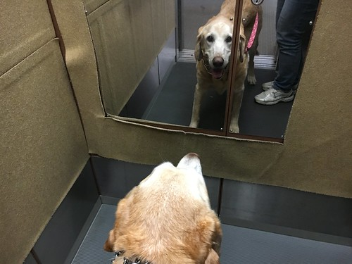 Mirror, Mirror, who is the cutest lab in the world?