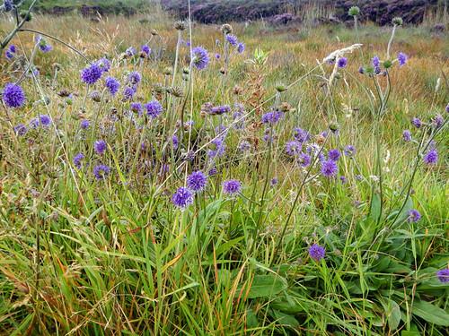 Purple wild flowers Bog heather in the Antrim Glens, Ireland, UK