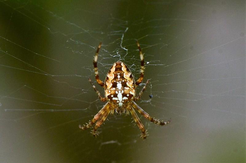 Garden spider 14.09 (2)