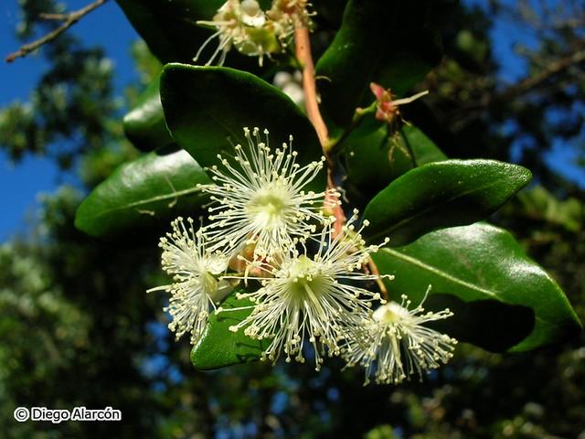Ramita con flores de temu (Blepharocalyx cruckshanksii)