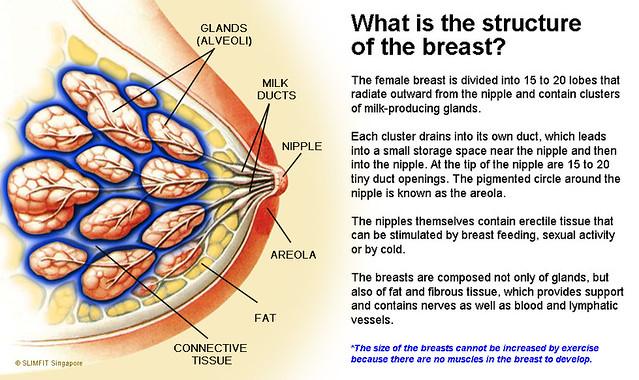 Breast Structure