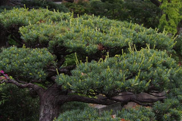 Japanese five-needle pine (Pinus parviflora)