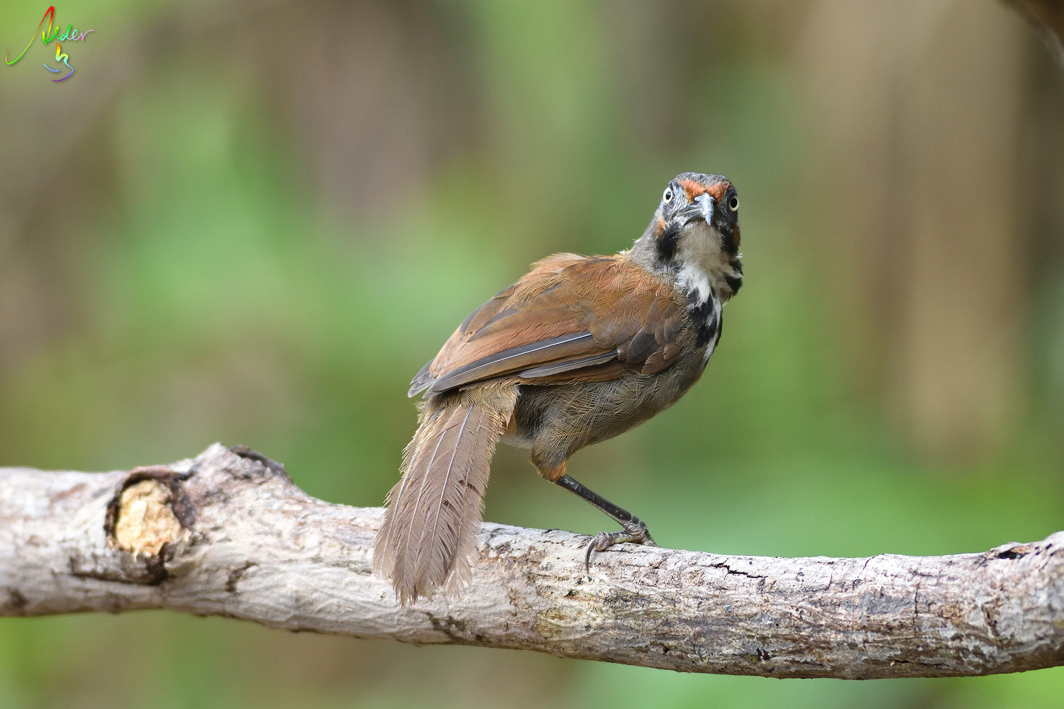 Rusty-cheeked_Scimitar_Babbler_5424