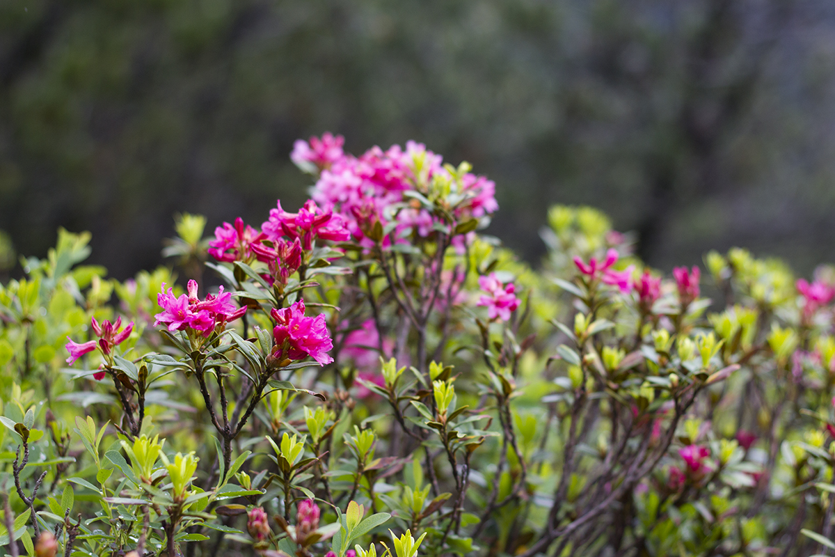 alpenrose-st-anton-hike