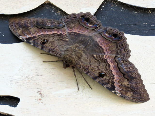 Black Witch moth on Great Stirrup Cay