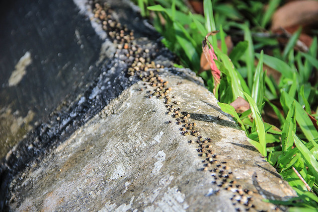 army of termites