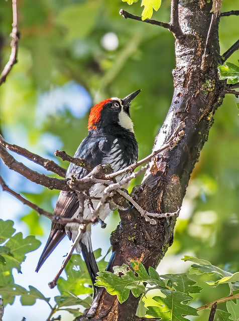 Acorn-Woodpecker-9-7D2-100816