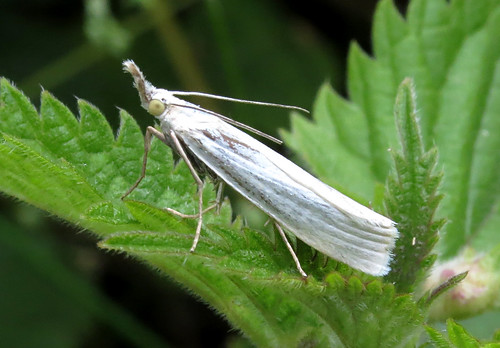 Crambus perlella Tophill Low NR, East Yorkshire July 2016