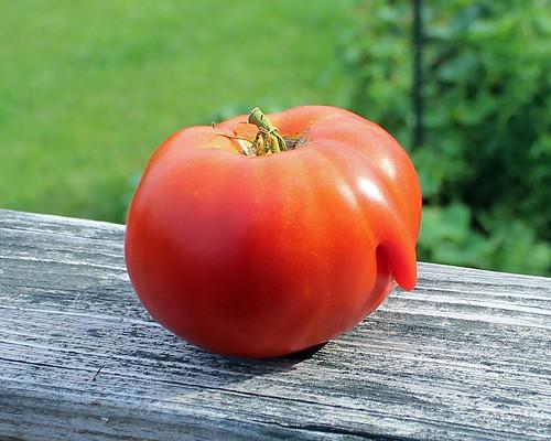 Lying Tomato