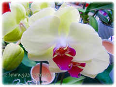Gorgeous White and Magenta Phalaenopsis Orchid at a garden nursery, 4th Feb 2016