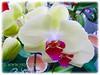 White Phalaenopsis Orchid cv. aphrodite (Moth Orchid, Phal.)