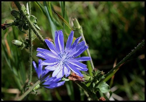 Cichorium intibus (3)