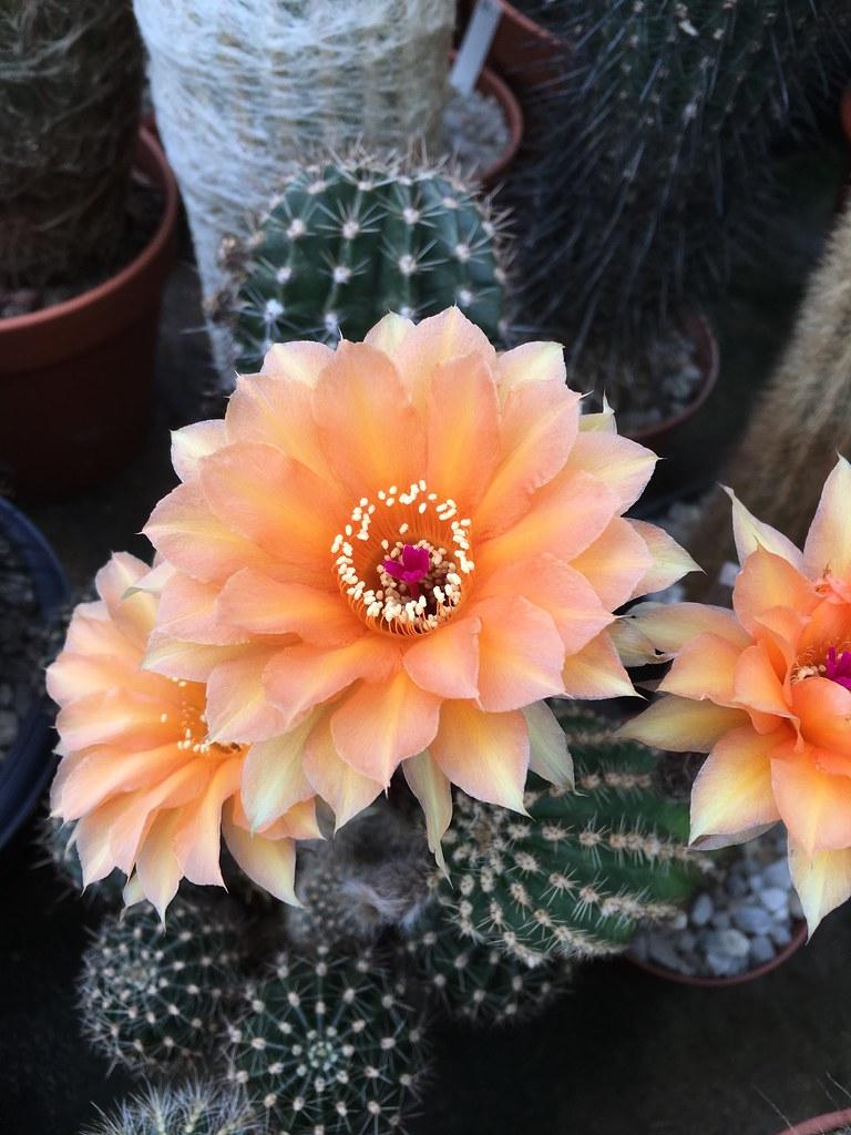 Ha-Ka-Flor - cactus et plantes grasses 28356516886_6a0e4e0348_b