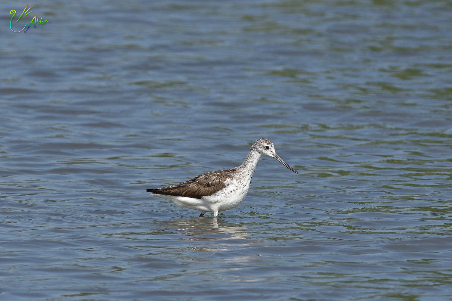 Common_Greenshank_8588