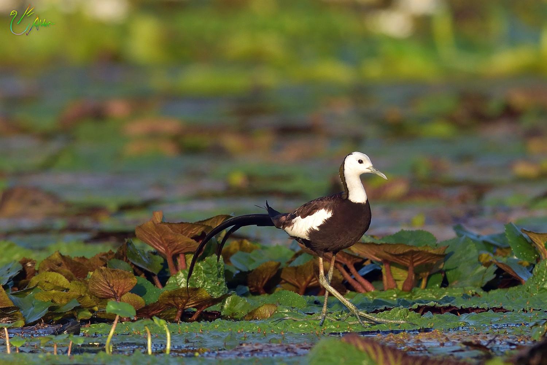 Pheasant-tailed_Jacana_2473