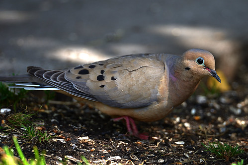 Mourning Dove ?