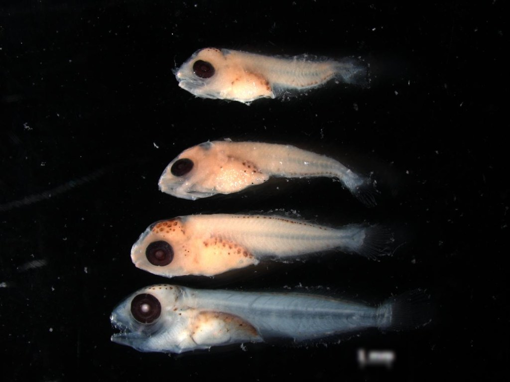 japanese scomber larvae