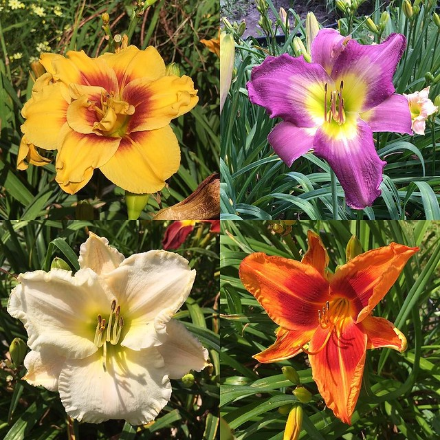 #daylilies at Hold'n Heaven.