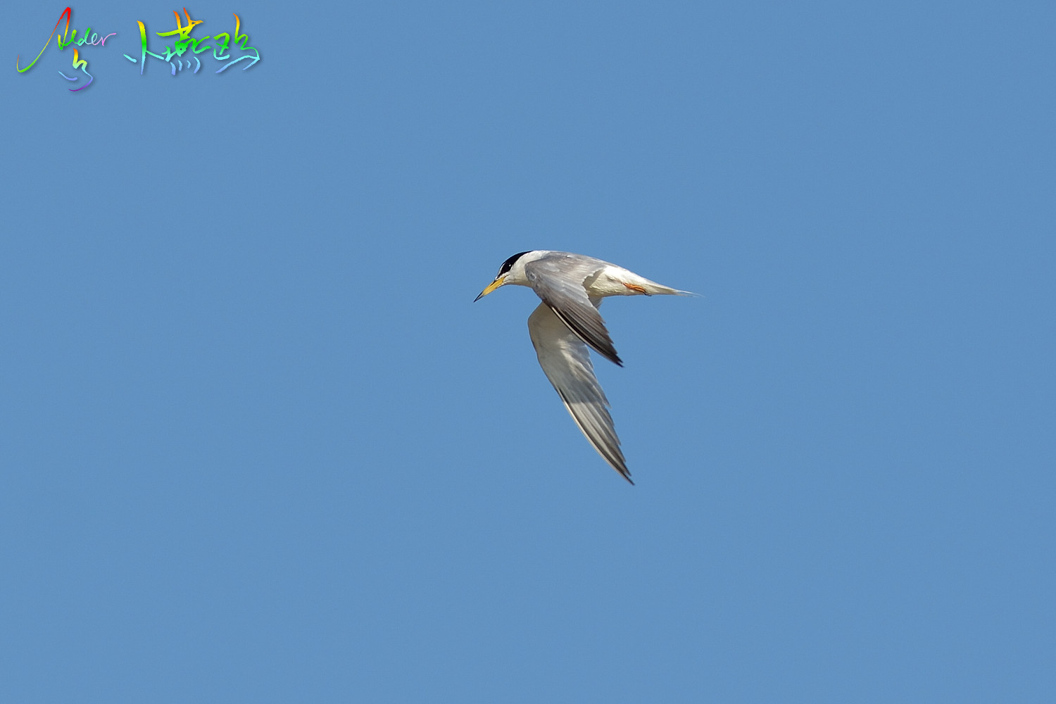 Little_Tern_2027