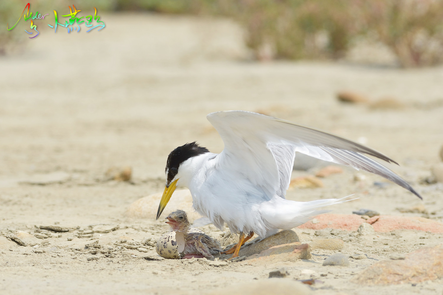 Little_Tern_5287