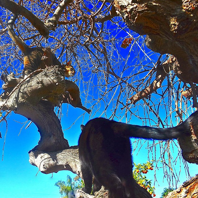 Our cats playing in the mulberry tree