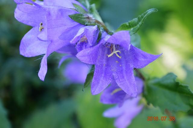 Vous avez une idée du nom de cette fleur ???? - TROUVÉ`: Campanula rapunculoides l'envahissante 28510495462_f1ef192f4e_z