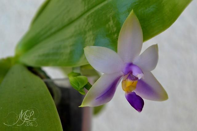 Phalaenopsis violacea coerulea : news !  28770259526_65f9c8d303_z