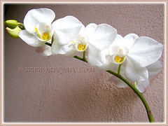 White Phalaenopsis Orchid cv. aphrodite (Moth Orchid, Phal.) blooming again in 22nd Jan. 2016
